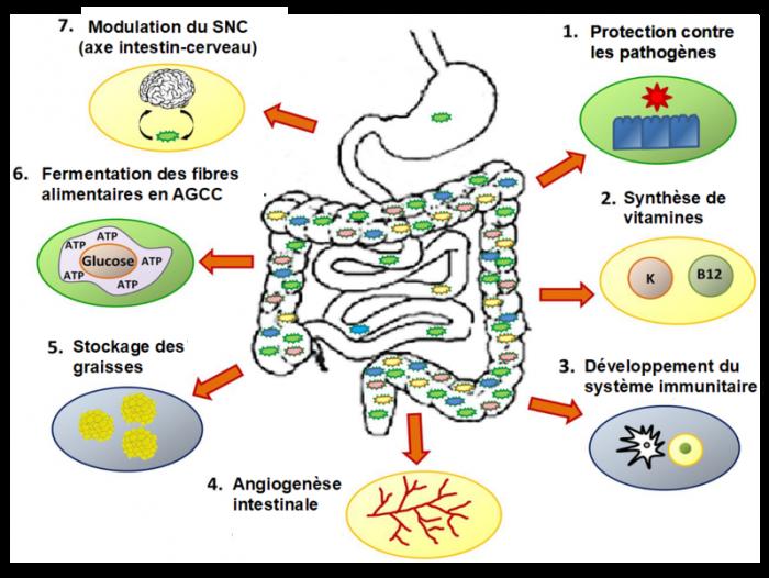 cerveau-Microbiote-probiotiques-psychiatre-paris